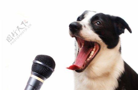 唱歌的小狗图片