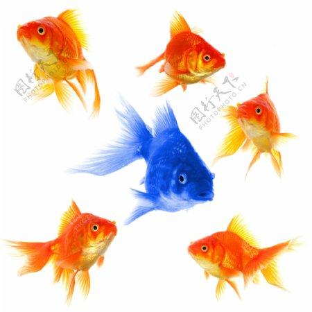 高清金鱼素材图片