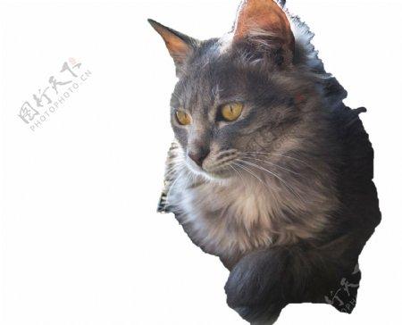 毛茸茸温和顽皮可爱猫咪