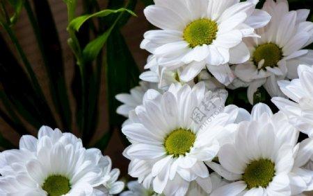 纯白色菊花花朵