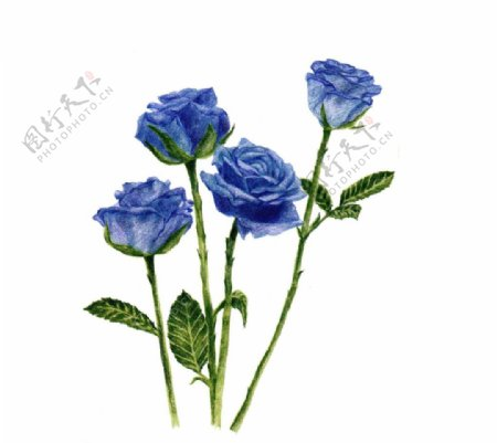 手绘蓝玫瑰