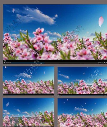 桃花盛开动画视频素材