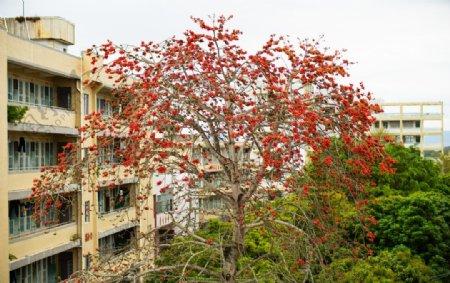 校园内红花大树木棉花房子边