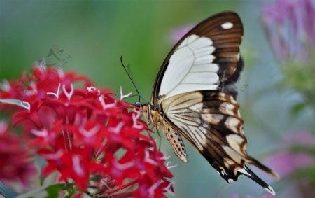 黑白纹蝴蝶