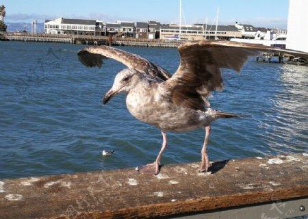 美国风光旅游摄影海鸥