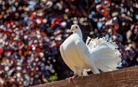 白鸽空山鸟语