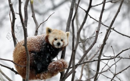 小熊猫可爱呆萌