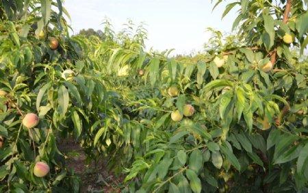 桃子桃树水果果树未成熟