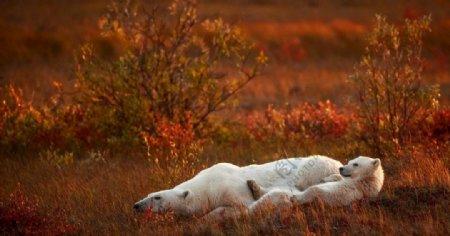 慵懒睡觉的熊