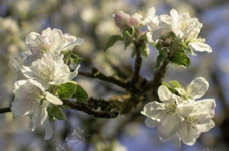 苹果树鲜花