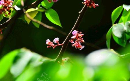 粉色杨桃花
