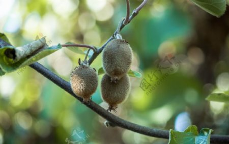猕猴桃树图片