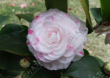 鲜艳的茶花图片