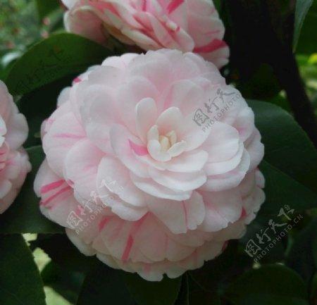 茶花花卉图片