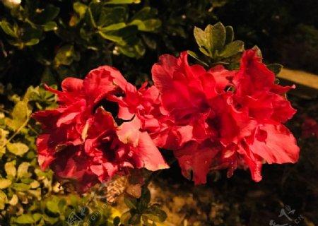 杜鹃花映山红鲜花图片