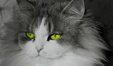 小猫黑猫猫黑白黑白猫图片