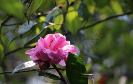 山茶花图片