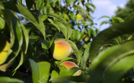 树枝上的桃子图片