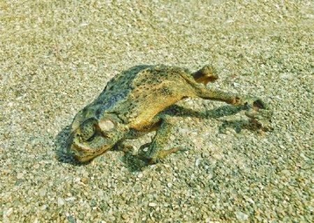 睡青蛙图片