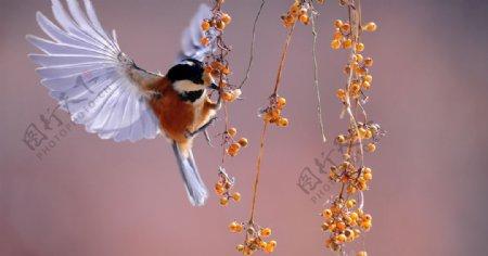 照片蜂鸟白天新翅膀急图片