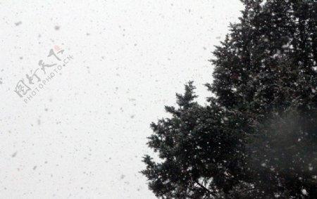 雪中松树图片