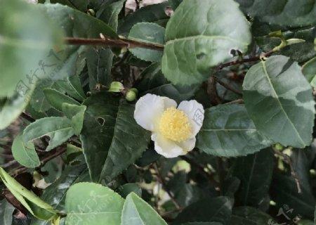 茶花茶树白色的小花图片