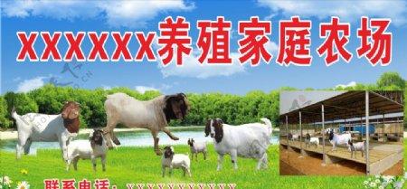 羊黑头羊养殖家庭农场图片