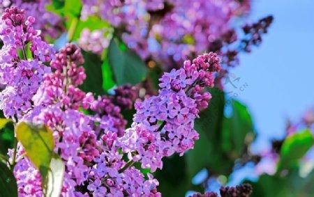 漂亮的紫丁香花图片