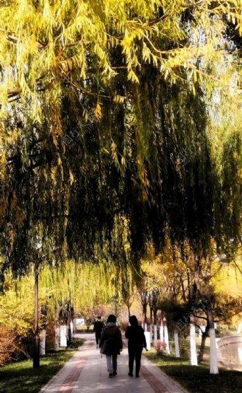 柳树小路图片
