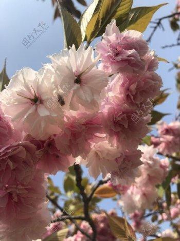 桃花花春天红花图片