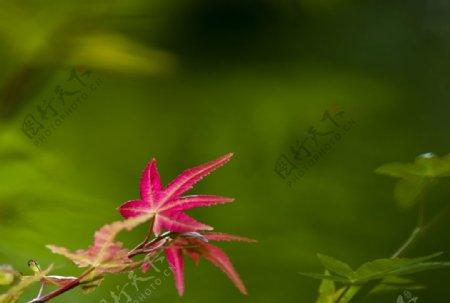 鸡爪槭枫叶图片