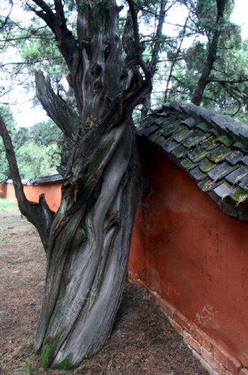 一颗大树图片