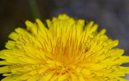 黄色蒲公英花朵图片