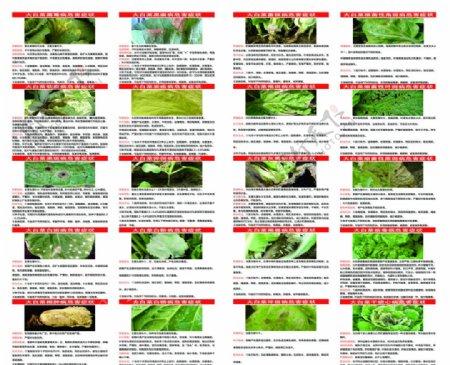 白菜病各类症状危害及防治方法图片