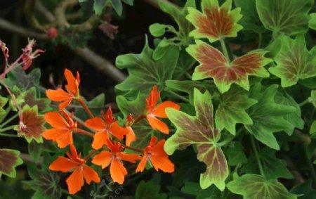 枫叶天竺葵图片
