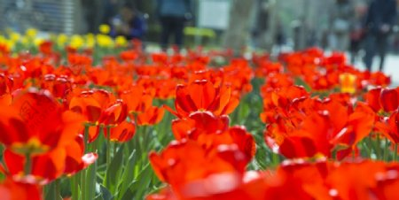 红色妖艳的郁金香图片