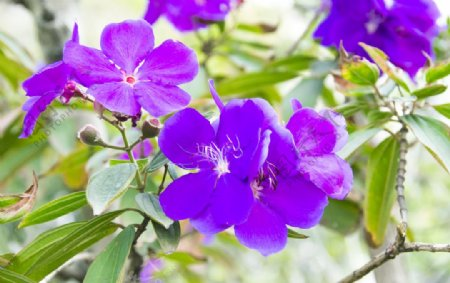花卉摄影素材紫色野牡丹花图片