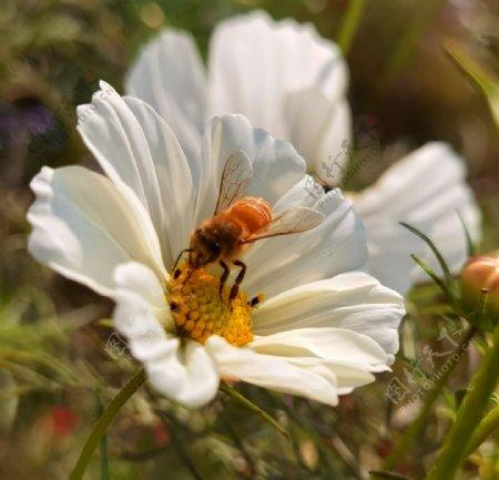 蜜蜂鲜花图片