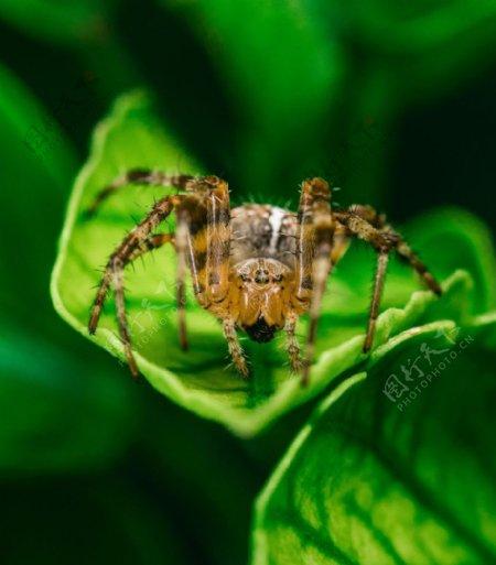 毒蜘蛛图片