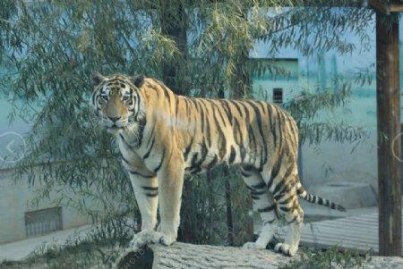 老虎动物园图片