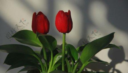 红色的郁金香特写素材图片
