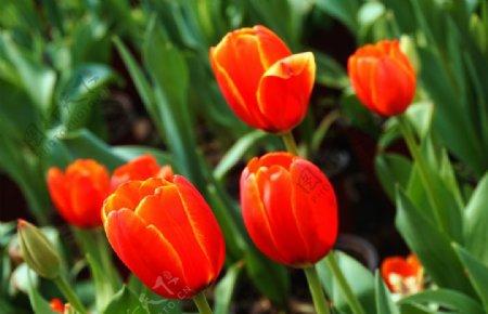 户外红色郁金香特写图片