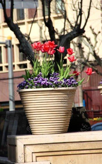 花盆里盛开的郁金香图片