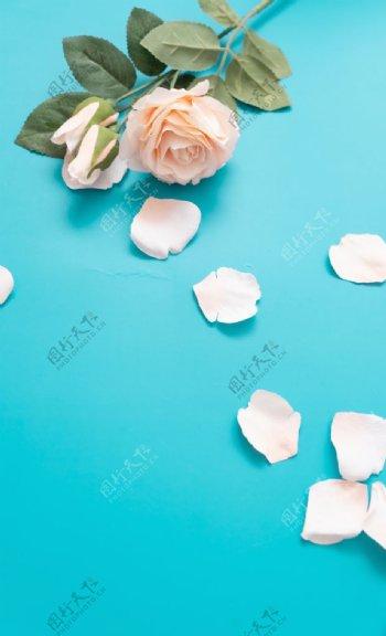 蓝色地板上的粉色玫瑰图片