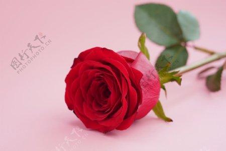 红玫瑰高清素材图片
