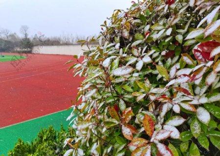 树叶上的积雪图片
