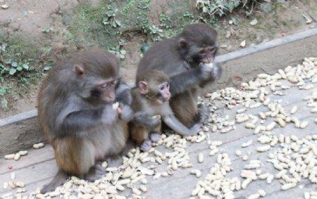 黔灵山小猴子图片