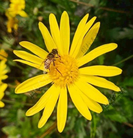 勤劳的小蜜蜂图片