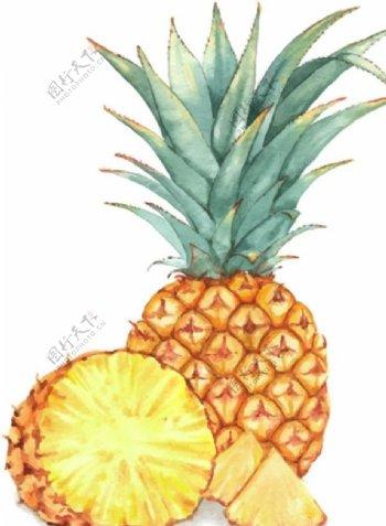 手绘矢量菠萝图片