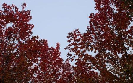 红枫树林秋天风景美景树叶图片